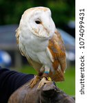 barn owl on glove of trainer | Shutterstock . vector #1074099431