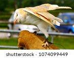 barn owl on glove of trainer | Shutterstock . vector #1074099449