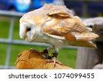 barn owl on glove of trainer | Shutterstock . vector #1074099455