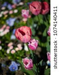 tulips photographed from above | Shutterstock . vector #1074140411