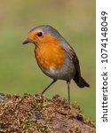 european robin  erithacus... | Shutterstock . vector #1074148049