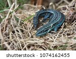 extremely rare blue colour... | Shutterstock . vector #1074162455