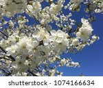 cherry blossom. white cherry... | Shutterstock . vector #1074166634