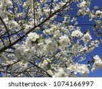 cherry blossom. white cherry... | Shutterstock . vector #1074166997