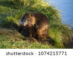 nutria at a pond  | Shutterstock . vector #1074215771