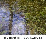 frogs in the swamp during the... | Shutterstock . vector #1074220355