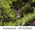 frogs in the swamp during the... | Shutterstock . vector #1074220361