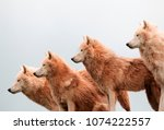 a pack of arctic wolves | Shutterstock . vector #1074222557