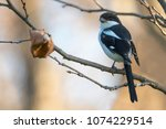a fiscal shrike on a bare... | Shutterstock . vector #1074229514