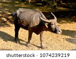 a lonely buffalo posting in... | Shutterstock . vector #1074239219