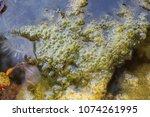 swamp algae. green algae... | Shutterstock . vector #1074261995