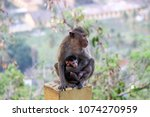 monkey protecting its child... | Shutterstock . vector #1074270959