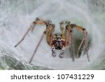 Small photo of Spider Agelena labirynthica