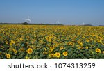 Small photo of The sunflower field and three wind turbines are beautiful .Sunflower, Helianthus annus , Magnoliophyta, Asterales, very useful by part of them,is an annual plant of the middle of America