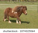 Small photo of A lovely skewbald miniature Shetland pony walking across a field.