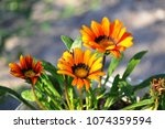 African Daisy Flower.gazania...