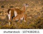 baby guanaco suckling  lama... | Shutterstock . vector #1074382811