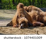 camels in the zoo | Shutterstock . vector #1074401009