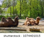 camels in the zoo | Shutterstock . vector #1074401015