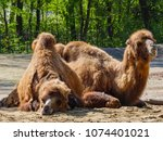 camels in the zoo | Shutterstock . vector #1074401021