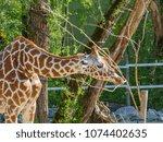 giraffes in the zoo | Shutterstock . vector #1074402635