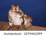little monkeys mother with a...   Shutterstock . vector #1074461099