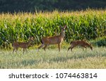 Yearling Doe And Two Fawns