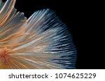 macro the beautiful small siam... | Shutterstock . vector #1074625229