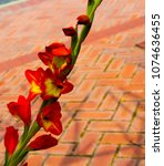 Small photo of Gladiolus or sword lily a genus of perennial bulbous flowering plants in the iris family (Iridaceae) blooming in spring in shades of red yellow is a decorative delight with long lasting flowers.