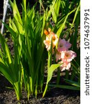 Small photo of Gladiolus or sword lily a genus of perennial bulbous flowering plants in the iris family (Iridaceae) blooming in spring in pale shades of apricot is a decorative delight with long lasting flowers.