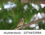 tiny savannah sparrow bird... | Shutterstock . vector #1074653984