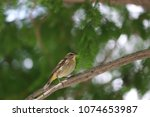 tiny savannah sparrow bird... | Shutterstock . vector #1074653987