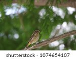 tiny savannah sparrow bird... | Shutterstock . vector #1074654107