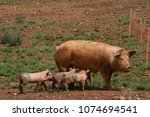 mother and suckling pigs | Shutterstock . vector #1074694541