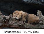 Lion Sleeping On A Tree Trunk