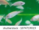 fish spa aquarium with fishes.... | Shutterstock . vector #1074719015
