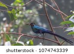 deep blue and purple plumage on ... | Shutterstock . vector #1074743339