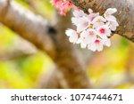 close up sakura blooming in... | Shutterstock . vector #1074744671