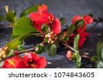 pink tree flowers spring... | Shutterstock . vector #1074843605