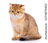 Stock photo red cat gold chinchilla smooth straight scottish cat 1074870401