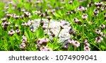 lippia uslijedila  perennial ... | Shutterstock . vector #1074909041