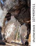a little lamb suckling from his ... | Shutterstock . vector #1074909311