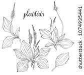 Plantain. Medicinal plant wild field flower.Sketch.Hand drawn outline vector illustration, isolated floral elements for design on white background.