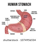 human stomach anatomy. vector... | Shutterstock .eps vector #1074956534