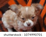 one chihuahua puppy | Shutterstock . vector #1074990701