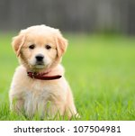 Stock photo puppy sitting in the grass with copyspace on the right 107504981