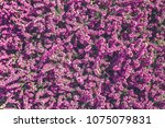 purple heather plant in the... | Shutterstock . vector #1075079831