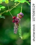 Small photo of Akebia flower blooming in a garden spring time