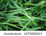 Small photo of dew drops on young green grass. Fresh green spring grass with dew drops closeup. Soft Focus. Abstract Nature Background.Grass blades with drops of dew on the sunrise in the morning mist
