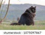 Sitting Black Cat In Green Field